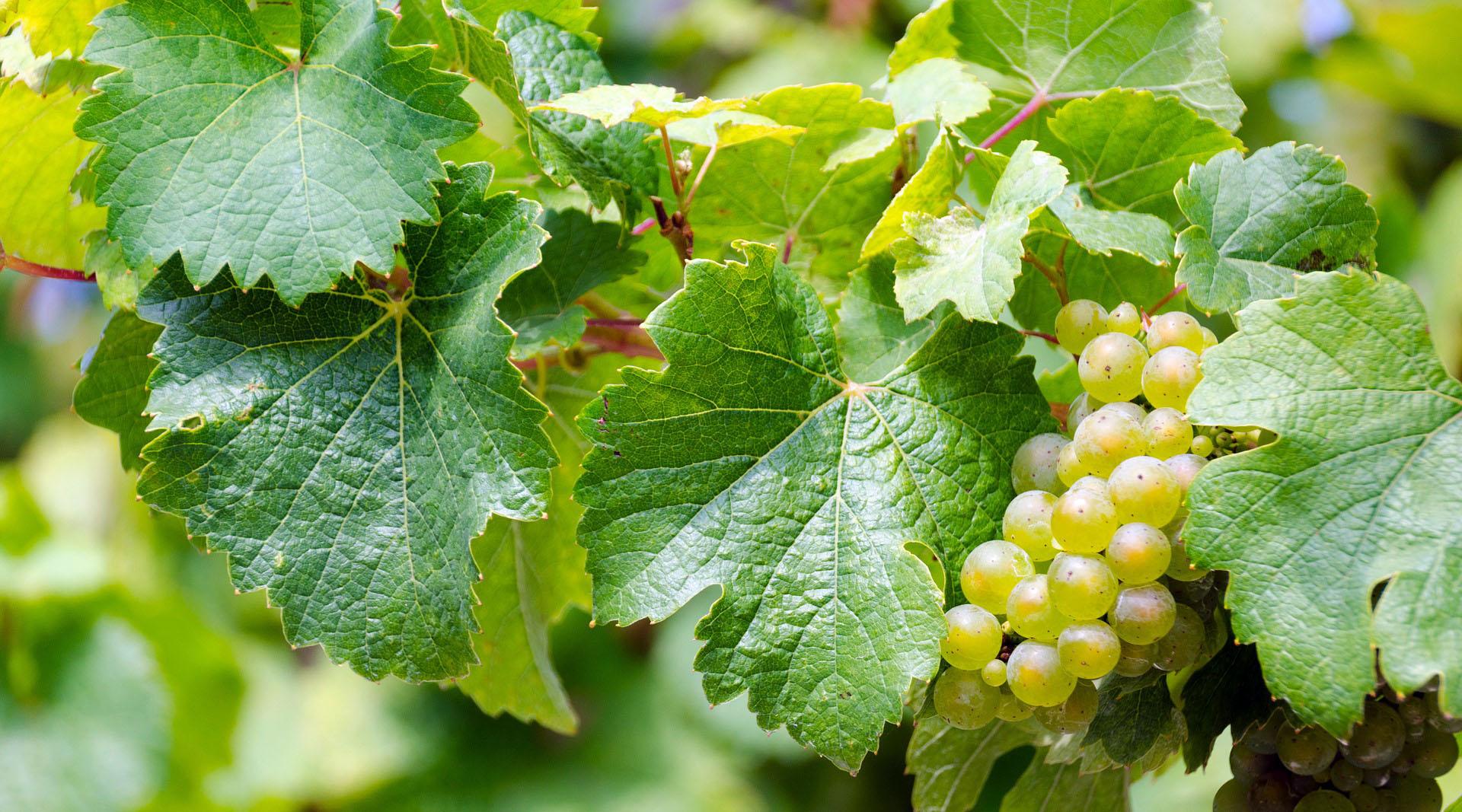 Vini bianchi autoctoni
