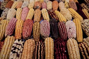 Le varietà di mais del Perù