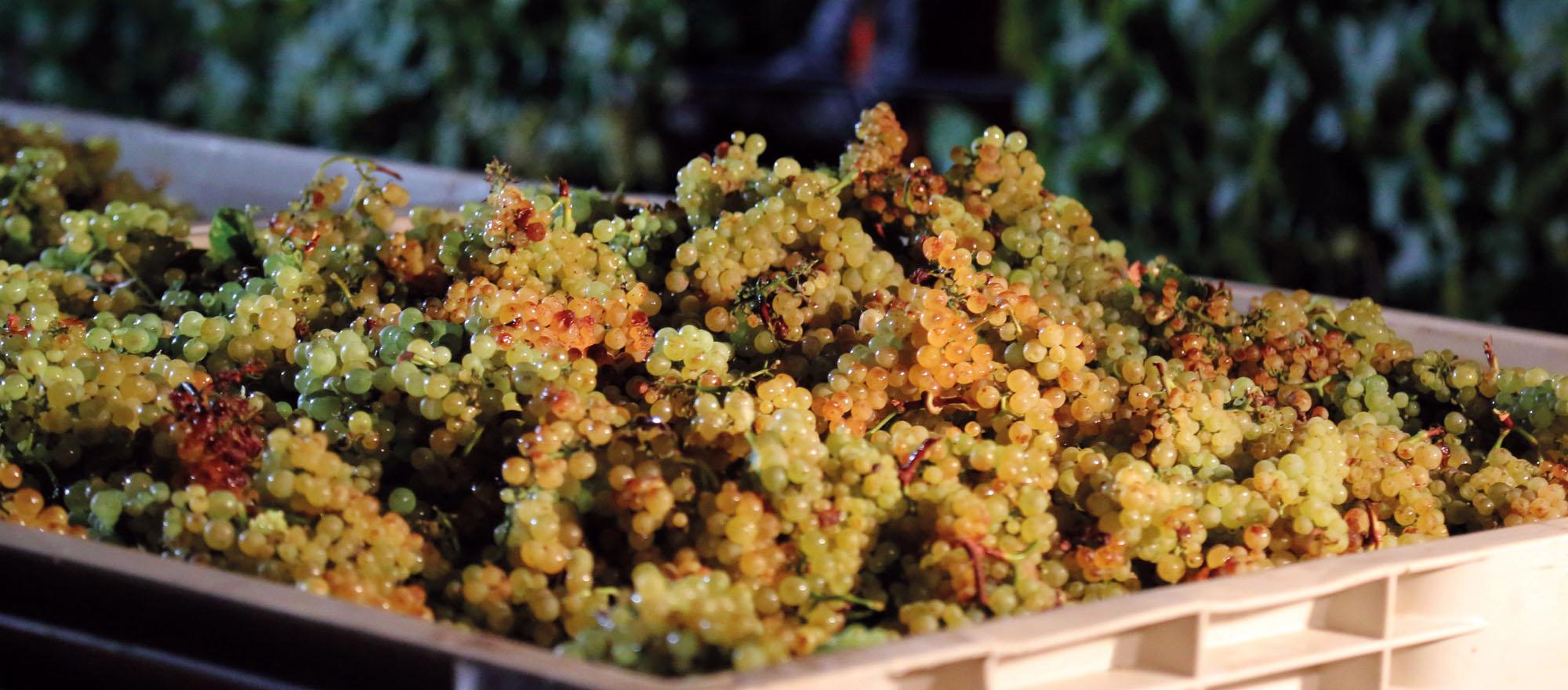 chardonnay raffinata freschezza