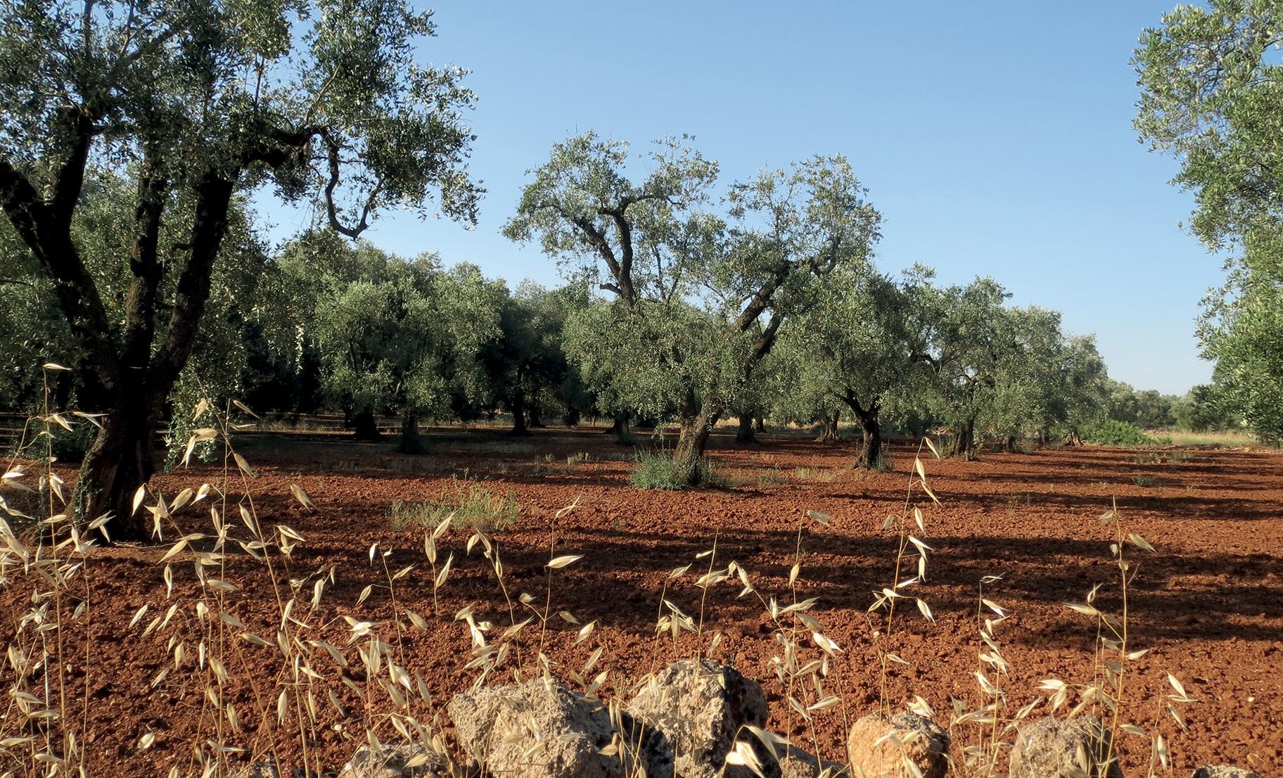olio extravergine di oliva: l'oro della puglia