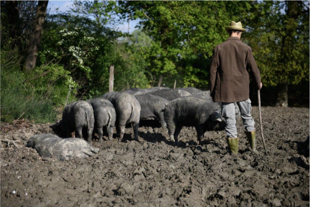 maiale e culatello - alla ricerca del porcaro