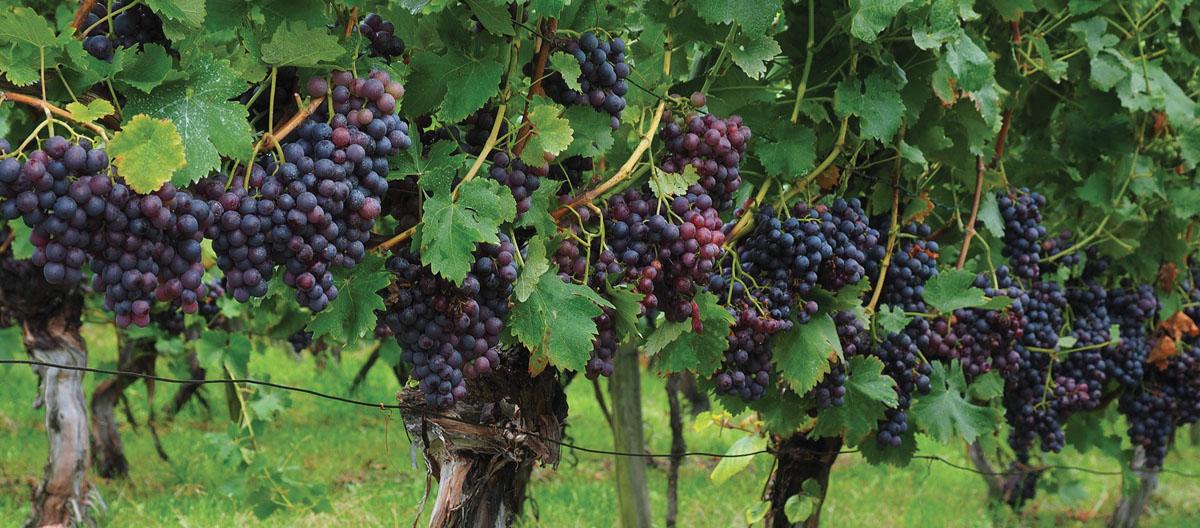 Pinot Nero, il bisbetico domato