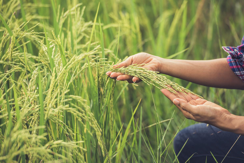 Sì all'esportazione del riso italiano in Cina